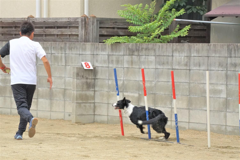 アジリティーを目で見ると迫力が違います。犬を自在に走らせる様子を見て拍手が起こります。